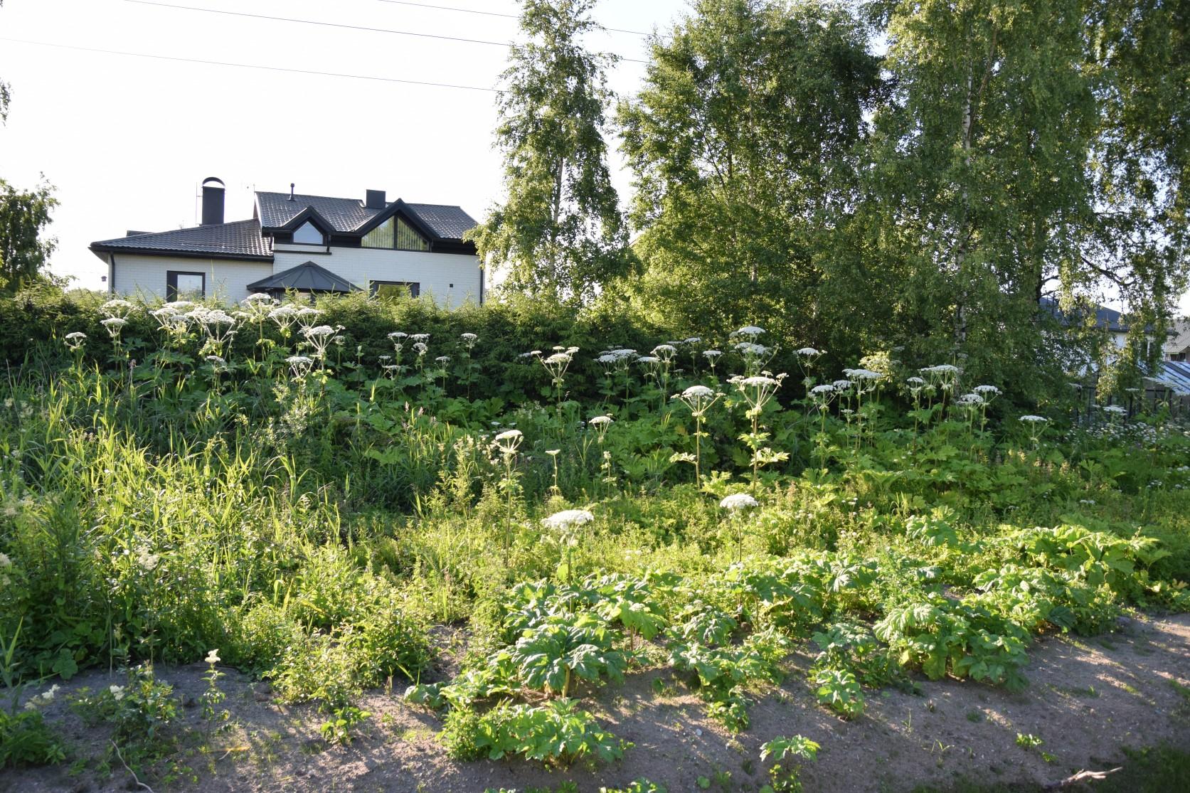 Sosnovski karuputked Veskimetsas kraavi kaldal. Pildistas Katrin Jõgisaar, Bioneer.ee