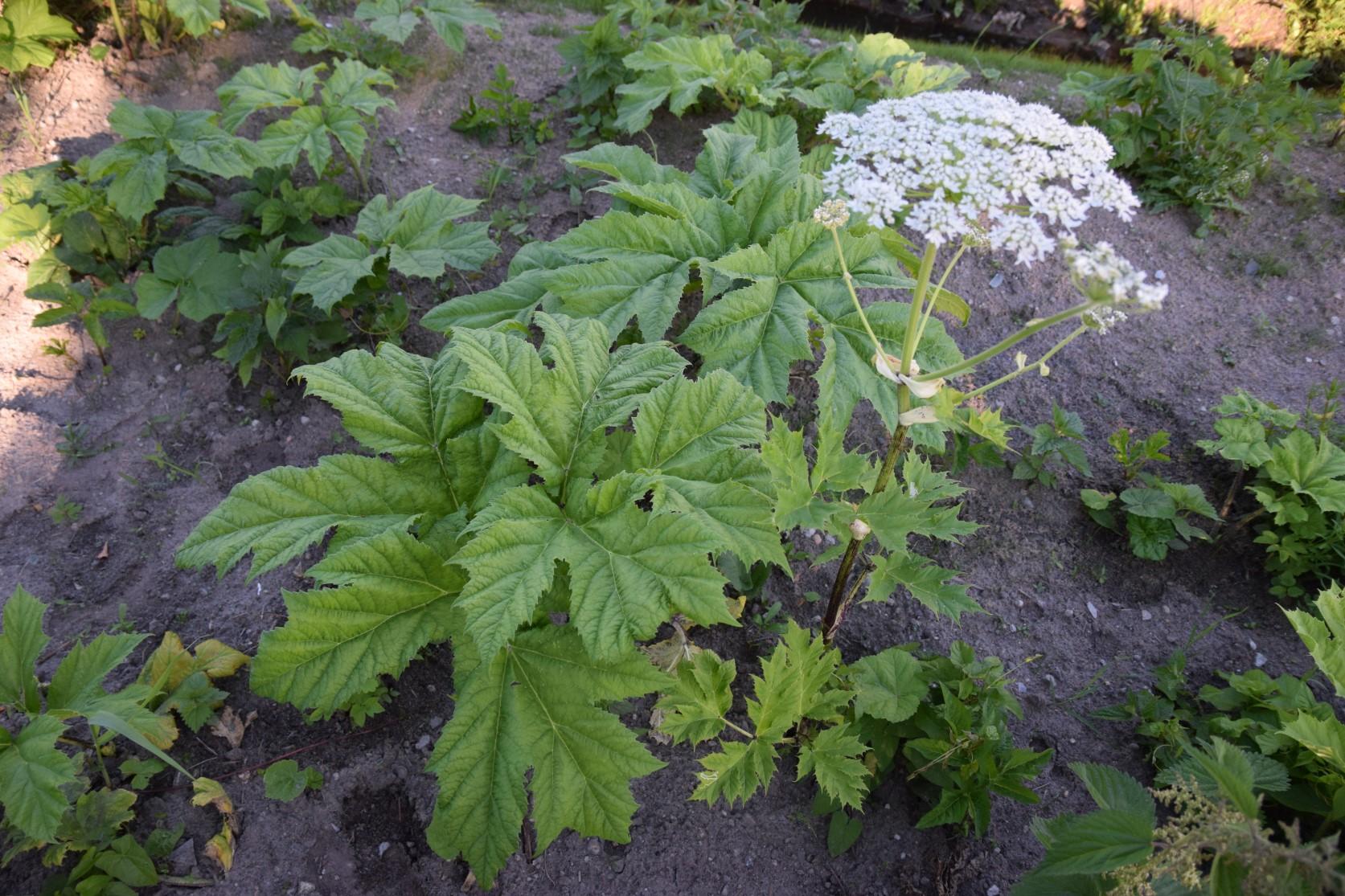 Sosnovski karuputk tõrjub teised taimed välja. Pildistas Katrin Jõgisaar, Bioneer.ee
