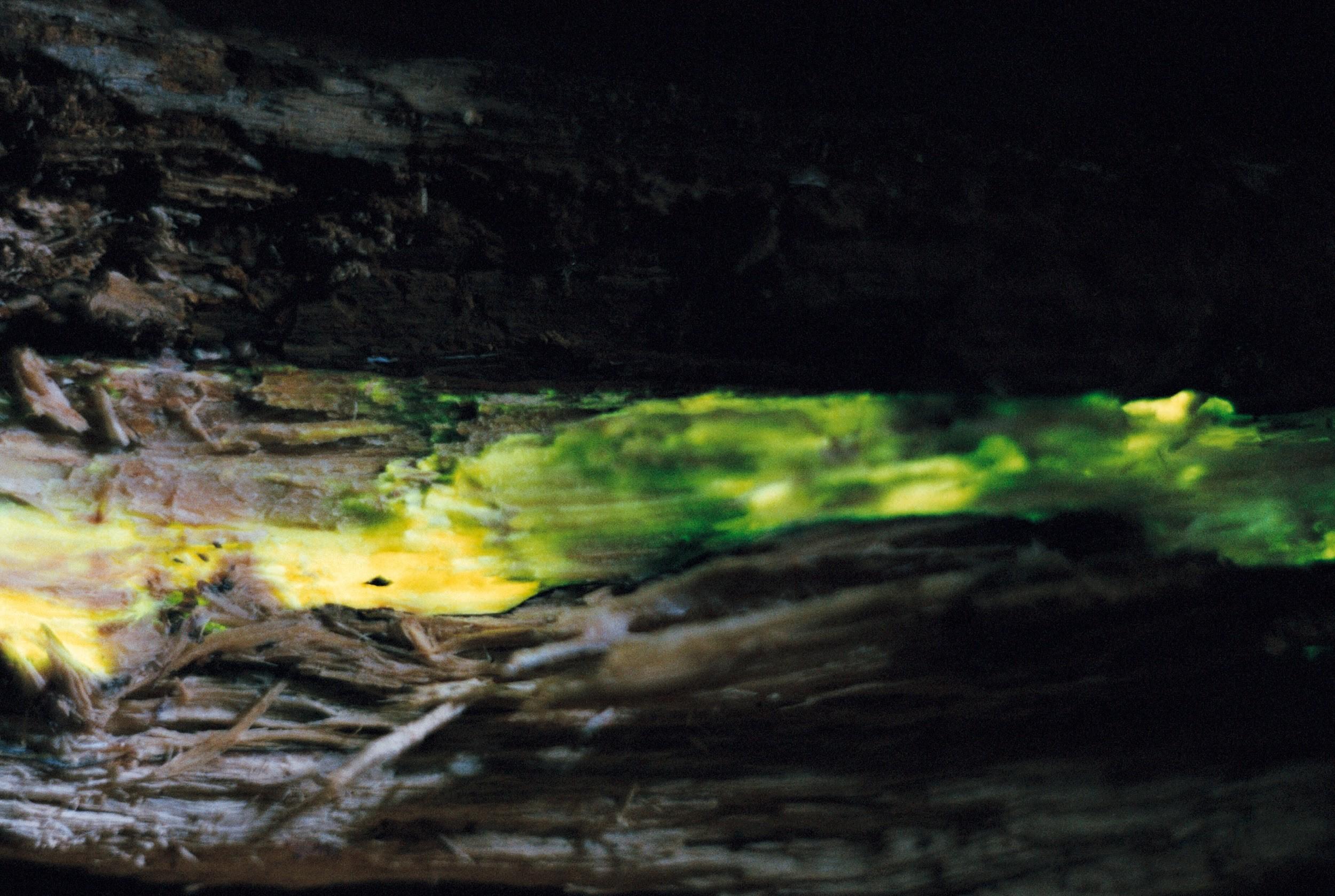 Foto: Helendav kõdupuit Tartu lähedalt Tähtvere metsast. On näha, kuidas puidus on kindlapiiriline helendav soon - seal elab seen