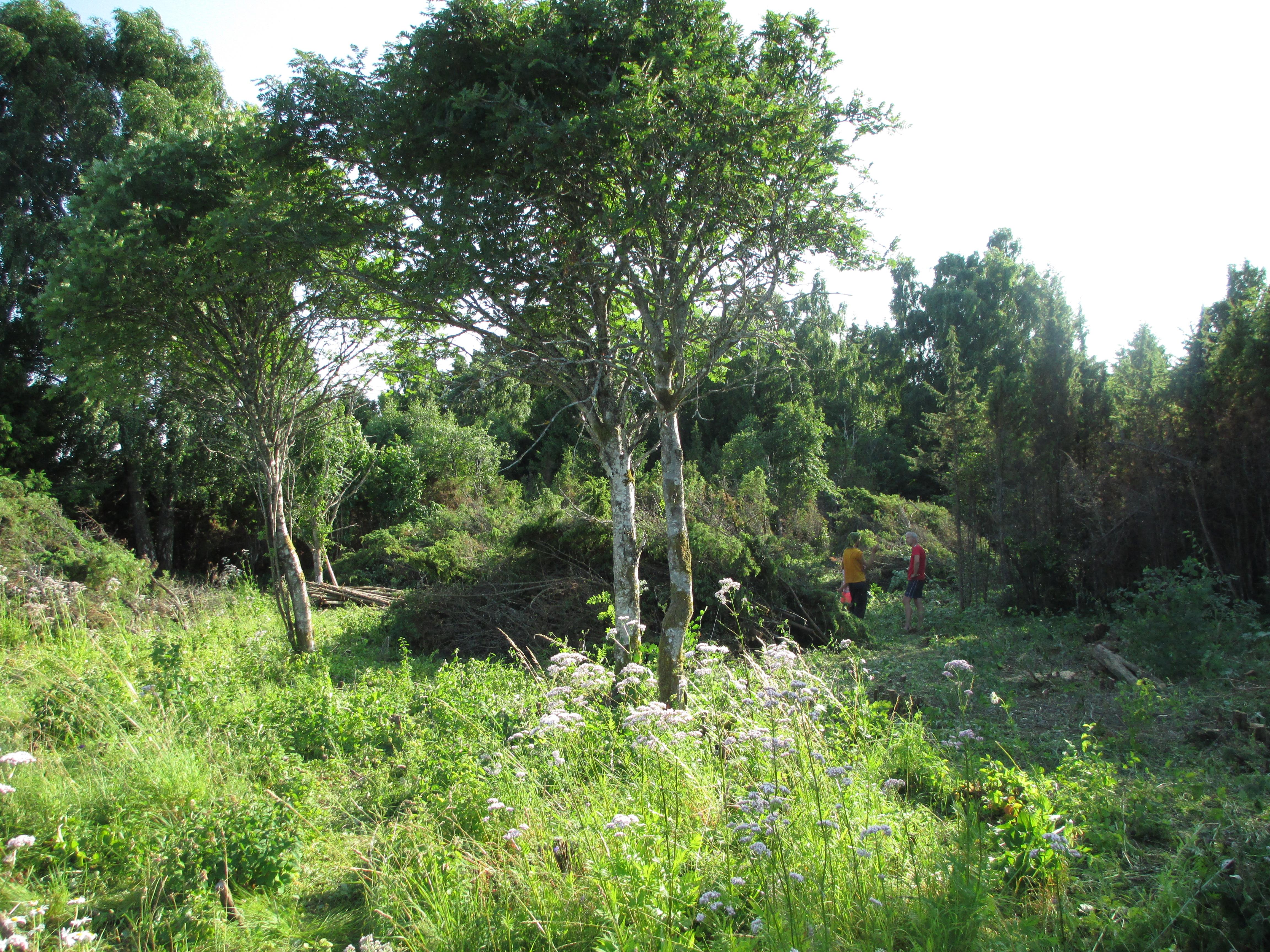 Üksikud lehtpuud pärast talguliste poolt kadakavõsast välja raiumist. Taamal tihe kadakamüür.