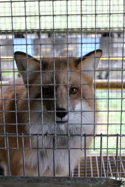 Eesti suurim karusloomafarm lõpetas loomade pidamise