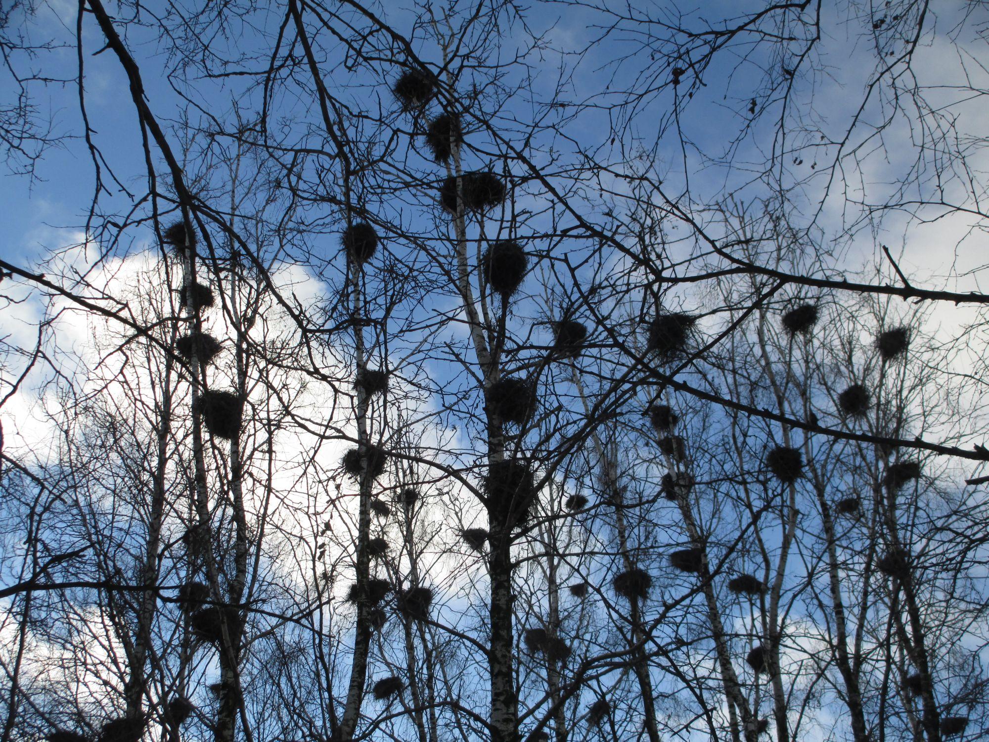 Puude ladvad on tihedalt kormoranipesi täis tipitud.