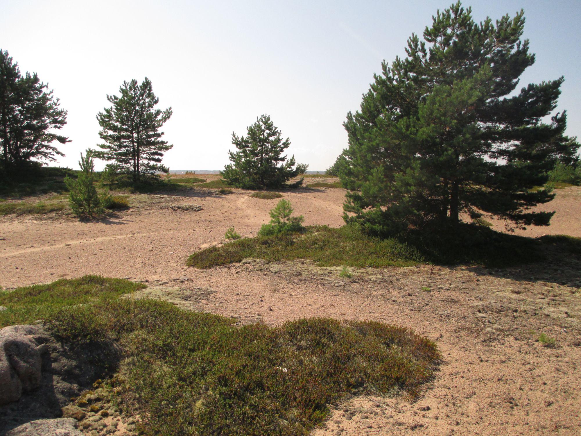 Kuldsete liivaluidete vahele on peitunud kukemarjapuhmad.