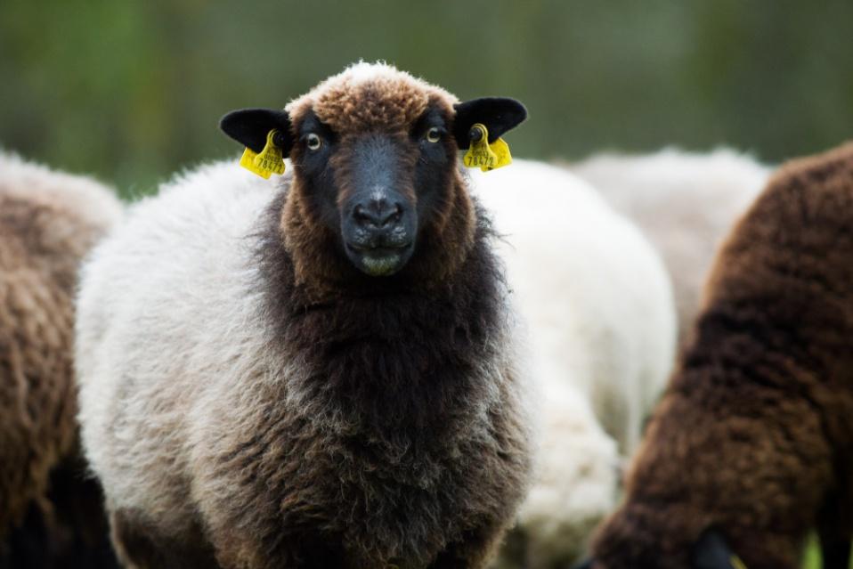 Lahemaa lambad. Pildistas Kairi Voosalu