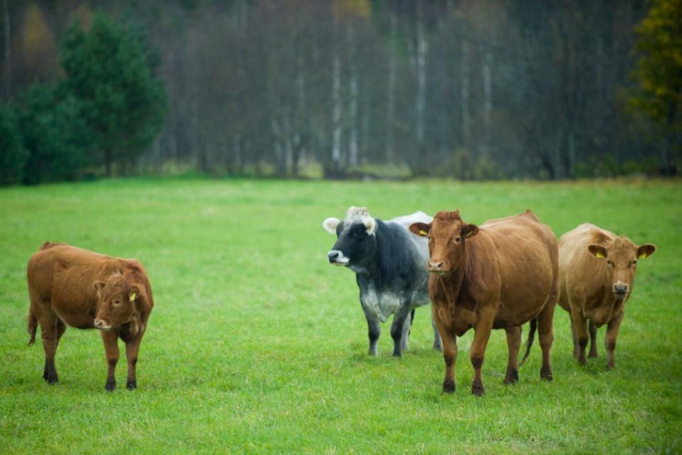 Lehmad. Pildistas Kairi Voosalu