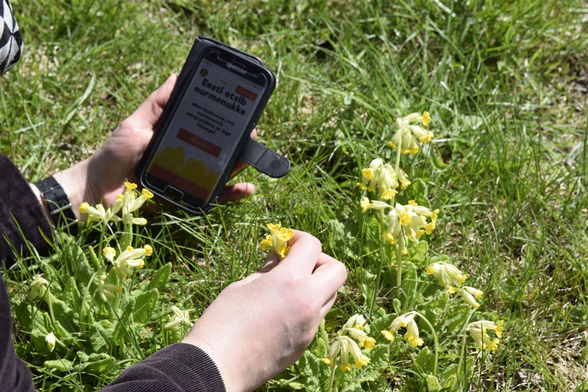 Foto: Nurmenukkude määramine telefoniäpi abil. Janek Jõgisaar, Bioneer.ee