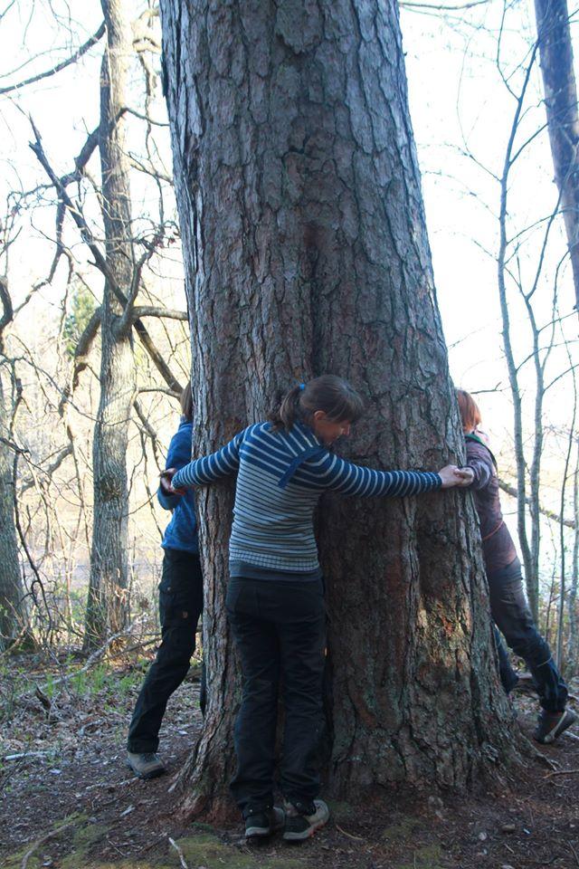 Pedassaare mändide valitsejanna on Emamänd, mille kallistamiseks läheb tarvis tervelt kolme inimest. Foto: Piia Kokka.