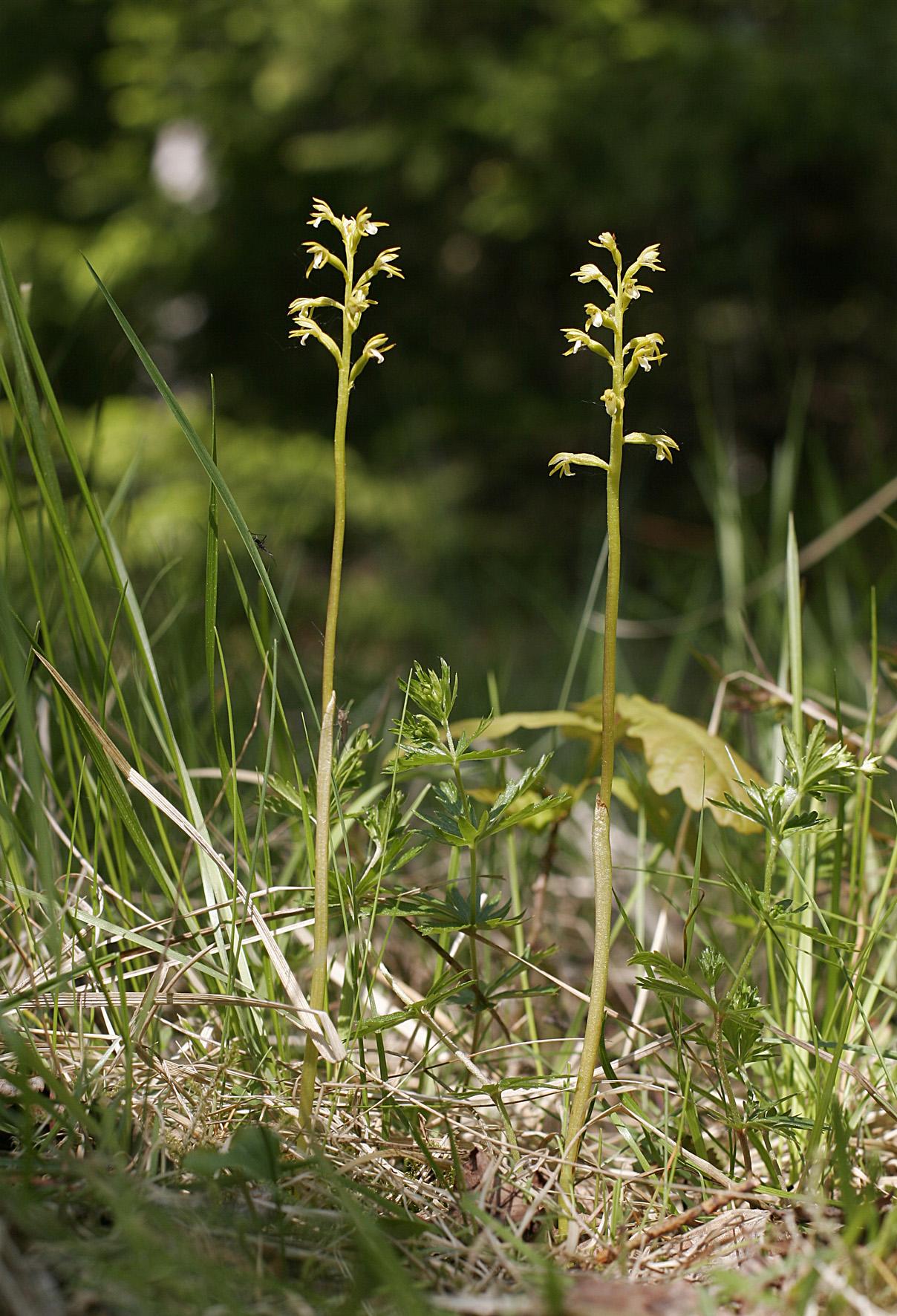2013. aasta orhidee on kõdu-koralljuur