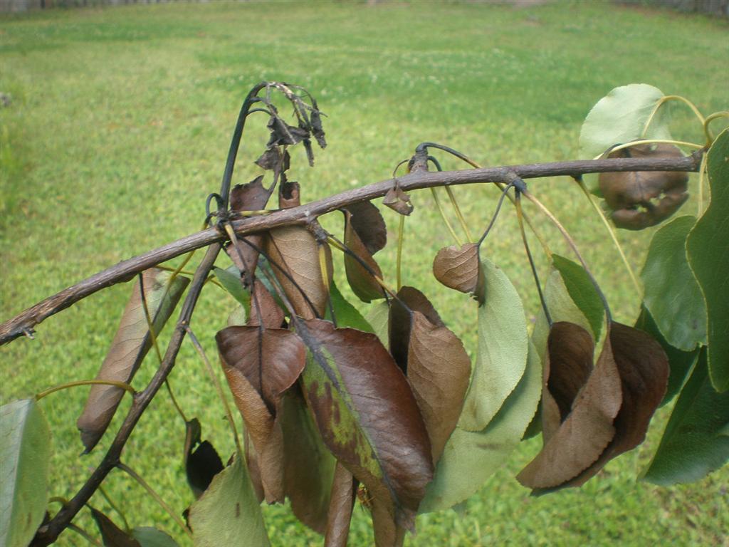 Eestis leiti taas viljapuu-bakterpõletiku kolle